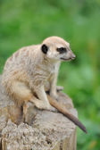 Meerkat standing upright and looking alert — Stock Photo