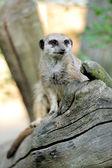 Meerkat standing upright and looking alert — Stock Photo
