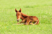 Colt in meadow — Stock Photo