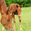 Stock Photo: Horses in meadow