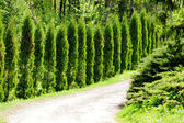 Thuja alley — Stock Photo