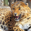 Leopard — Stock Photo #25041275