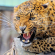Leopard — Stock Photo #25041283