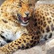 Leopard — Stock Photo #25041377