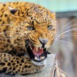 Leopard — Stock Photo #25041395