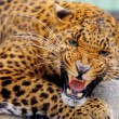 Leopard — Stock Photo #25041399