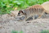 Meerkat — Stok fotoğraf