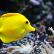 Tropical yellow tang on a coral reef - Stock Photo