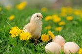 Little chicken — Stock Photo