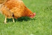Brown chicken — Stock Photo