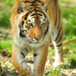Tiger — Stock Photo #25961291