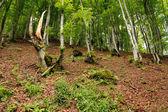 喀尔巴阡森林 — 图库照片