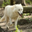 Wild white wolf — Stock Photo