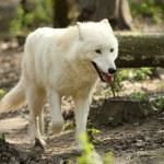 Wild white wolf — Stock Photo