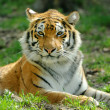Tiger — Stock Photo #26960079