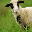 White sheep in grass — Stock Photo