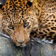 Leopard — Stock Photo #27009709