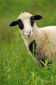 Vita får i gräs — Stockfoto