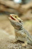 Bearded Dragon Lizard — Stock Photo