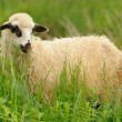 Foto Stock: White sheep in grass