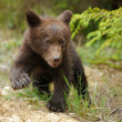 Brown bear cub — Stock Photo #28307593