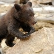 Brown bear cub — Stock Photo #28518531