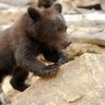 Brown bear cub — Stock Photo