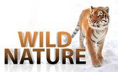 Suberian Tiger — Stock Photo