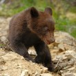 Brown bear cub — Stock Photo
