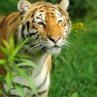 Tiger — Stock Photo #31081243