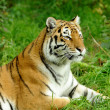 Tiger — Stock Photo #31081487
