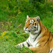 Tiger — Stock Photo #31083107