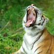 Tiger — Stock Photo #31083211