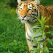 Tiger — Stock Photo #31083275