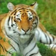 Tiger — Stock Photo #31083465