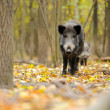 Male wild boar in autumn, in the forest — Stock Photo #31348457