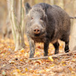 Male wild boar in autumn, in the forest — Stok fotoğraf