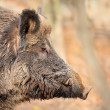 Male wild boar in autumn, in the forest — Stock Photo #31349203