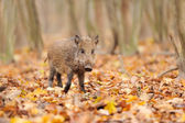 Young wild boar in forest — Stockfoto