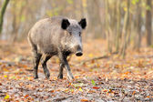 Male wild boar in autumn, in the forest — Stock Photo