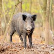 Male wild boar in autumn, in the forest — Stock Photo #31382835