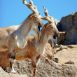 markhor — Stock Photo #31667987