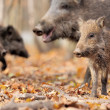 Wild boar — Stock Photo #31668023