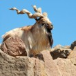 markhor — Stock Photo #31668237