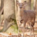 Wild deer — Stock Photo #31668247