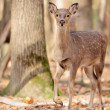 Wild deer — Stock Photo