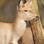 Wild deer — Stock Photo #31668445