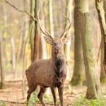 Wild deer — Stock Photo #31669505