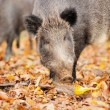 Wild boar — Stock Photo #31669559