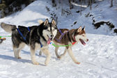 A team of Siberian sled dogs pulling a sled through the winter f — Stock Photo